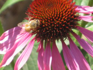 Purple Cone Flower and bee